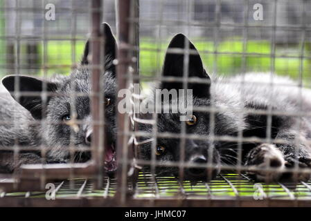 Novosibirsk, Russia. 14th July, 2017. Domesticated foxes seen in an enclosure at an experimental farm of the Institute - Stock Photo