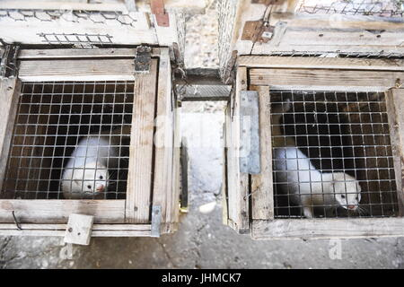 Novosibirsk, Russia. 14th July, 2017. Domesticated minks seen in an enclosure at an experimental farm of the Institute - Stock Photo