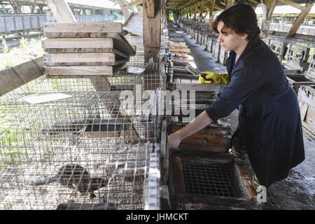 Novosibirsk, Russia. 14th July, 2017. An employee seen by an enclosure with domesticated minks at an experimental - Stock Photo