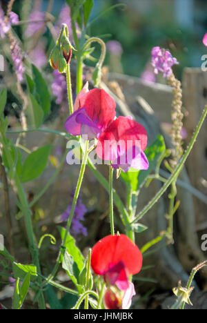 Dorset, UK. 14th July, 2017. Sweet Pea flowers in the last of the day's sunshine - high above Chesil beach, Portland - Stock Photo