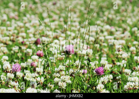 Trifolium repens and Trifolium pratense. A lawn densely overgrown with clover. - Stock Photo