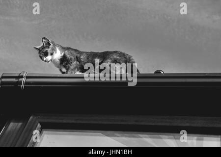 grey and white small cat walking on the top of a roof - Stock Photo