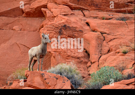 Desert Bighorn Sheep (Ovis canadensis), Valley of Fire State Park, Nevada, USA - Stock Photo