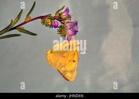 A clouded sulphur butterfly, Colias philodice eriphyle, on a wildflower. - Stock Photo