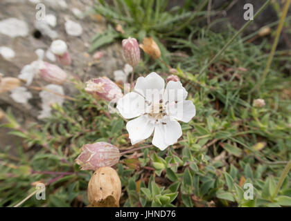 Sea campion near Portpatrick in Dumfries and Galloway in Scotland - Stock Photo