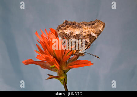 A California Tortiseshell Butterfly, also known as a Western Tortoise Shell, Nymphalis californica, searching for - Stock Photo