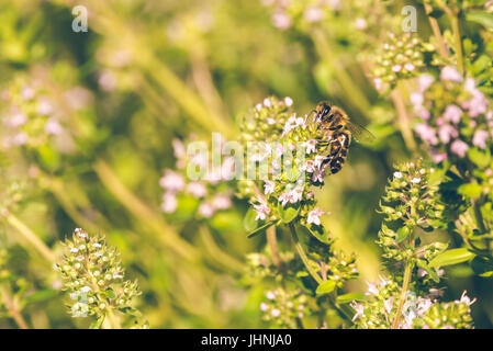 Horizontal photo of single bee which is perched on flower in the garden. The insect sits on green thyme plant with - Stock Photo