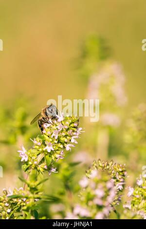 Vertical photo of single bee which is perched on flower in the garden. The insect sits on green thyme plant with - Stock Photo