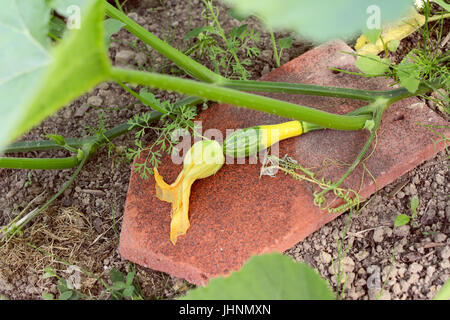 House tile beneath an ornamental gourd for protection from damage; plant vine and leaves surround the fruit - Stock Photo
