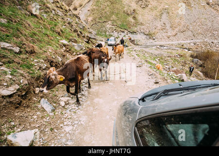Cows Walking Along A Narrow Mountain Countryside Road In Rocky Mountains At Spring Season In Georgia. - Stock Photo