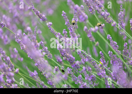 detail image of lavender with bees on a farm in Sag Harbor, ny - Stock Photo