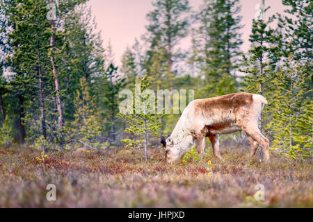Feral reindeer. These animals are already few live in neutral zone of Russian-Norwegian border and breed here. Refund - Stock Photo