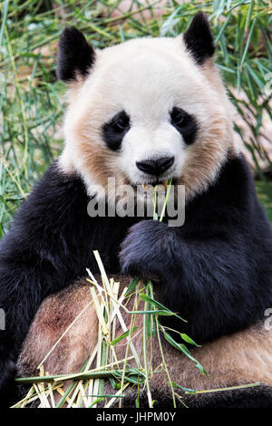 Adult Giant Panda eating bamboo at the Chengdu Research Base of Giant Panda Breeding, Chengdu, China - Stock Photo