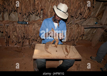 Cuban gentleman preparing to roll a cigar in a drying shack near Vinalles, Cuba - Stock Photo