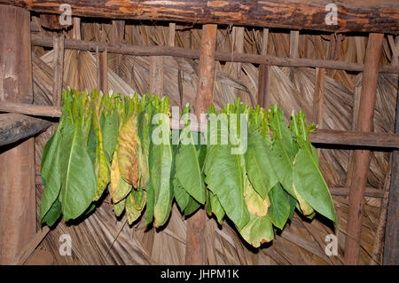 Tobacco leaves drying in a drying shed near Vinalles in Cuba - Stock Photo