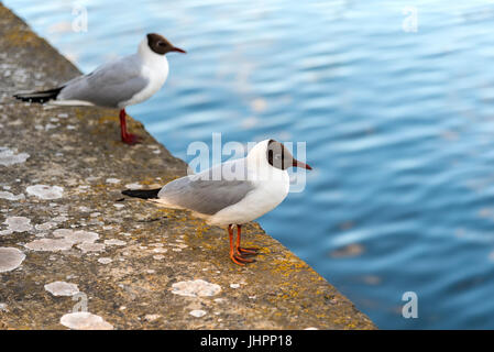 A couple of black headed seagulls (Chroicocephalus ridibundus) sit on a sea wall in Northern Europe. - Stock Photo