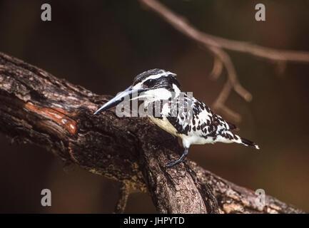 Pied Kingfisher or Water Kingfisher (Ceryle rudis), Keoladeo Ghana National Park, Bharatpur, Rajsthan, India - Stock Photo