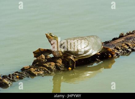 Indian flapshell turtle (Lissemys punctata) Keoladeo Ghana National Park, Bharatpur, Rajasthan, India - Stock Photo