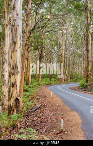 Caves Road winding through the Boranup Karri Forest in the Leeuwin-Naturaliste National Park in the Margaret River - Stock Photo