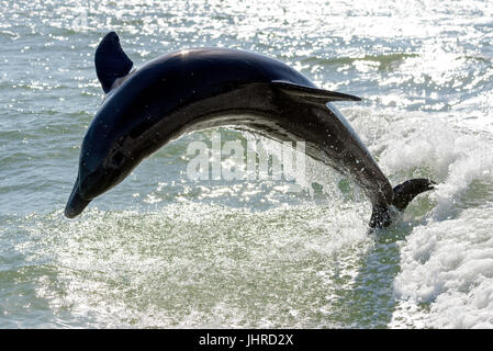 Bottlenose dolphin (Tursiops truncatus) breaching near Marco Island, Florida, USA - Stock Photo