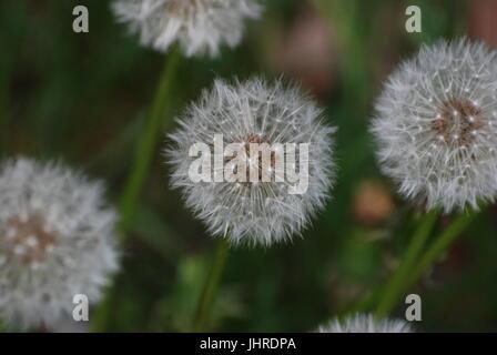 Dandelion (Pusteblume) in Goethe Park in Berlin-Wedding on May 8, 2012, Germany - Stock Photo