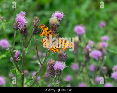 Comma Butterfly Polygonia c-album - Stock Photo