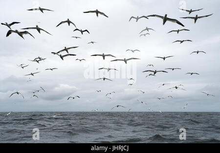 A company/flock of Northern Gannets (Morus bassanus) follow a seabird tour boat in anticaption of food, Shetland, - Stock Photo