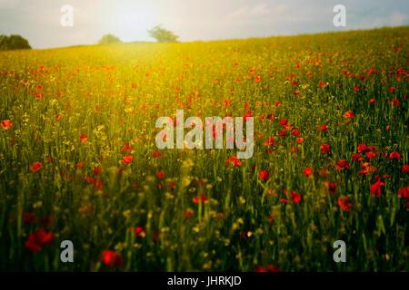 Poppy field in sunset - Stock Photo