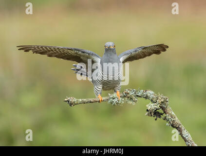 Adult Male Cuckoo landing on Lichen Covered branch, Thursley Common, Surrey - Stock Photo