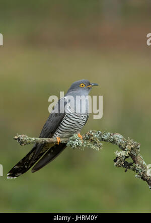 Adult Male Cuckoo perched on Lichen covered Branch - Stock Photo