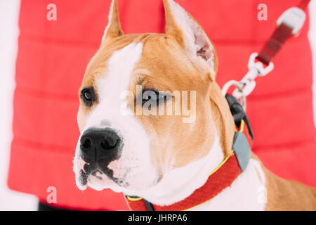 Close Portrait Of Beautiful Dog American Staffordshire Terrier - Stock Photo
