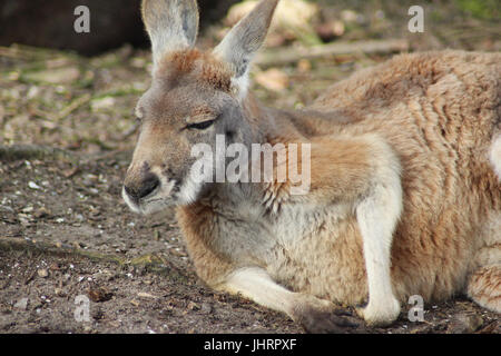 Red kangaroo (Macropus rufus) - Stock Photo
