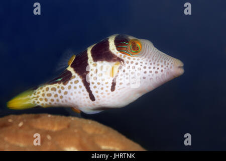 Valentin's sharpnose puffer (Canthigaster valentini), Palawan, Mimaropa, Sulu Lake, Pacific Ocean, Philippines