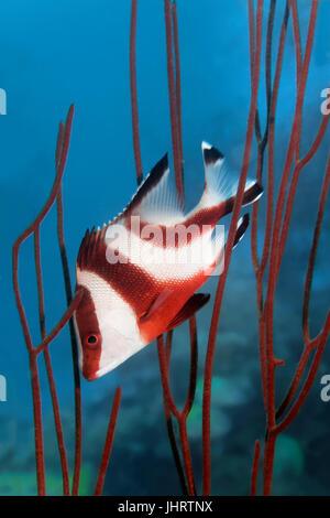 Emperor red snapper (Lutjanus sebae) seeking shelter amongst coral, Palawan, Mimaropa, Sulu Lake, Pacific Ocean, - Stock Photo