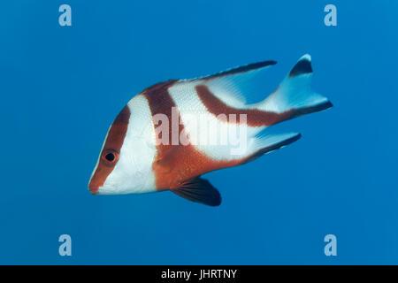Emperor red snapper (Lutjanus sebae) swimming in the blue, Palawan, Mimaropa, Sulu Lake, Pacific Ocean, Philippines - Stock Photo