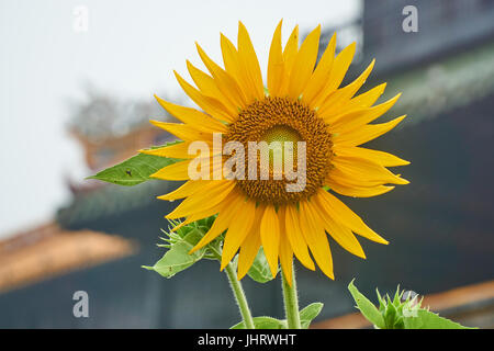 Sunflower in front of the entrence door from the imperial city, Hue, Vietnam. - Stock Photo
