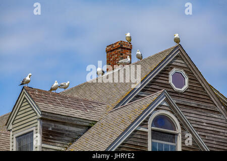 Eight Herring Gulls, Larus argentatus, perch on the peaks of a house roof in Bristol, Maine, USA. - Stock Photo