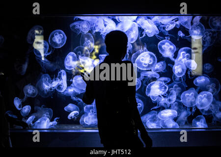 Berlin, Germany. 15th July, 2017. Aurelia aurita also known as Moon Jellyfish is seen in a water tank at the Aquarium - Stock Photo