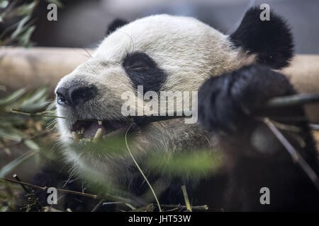 Berlin, Germany. 15th July, 2017. The 110-kilo male panda Jiao Qing is seen in his internal enclosure in the Berlin - Stock Photo