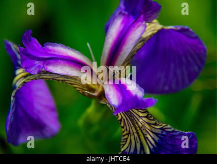 PRIMORYE TERRITORY, RUSSIA – JUNE 29, 2017: An Iris blooming at the Sikhote-Alin Nature Reserve in Russian Far East. - Stock Photo