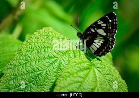 PRIMORYE TERRITORY, RUSSIA – JUNE 29, 2017: A butterfly at the Sikhote-Alin Nature Reserve in Russian Far East. - Stock Photo