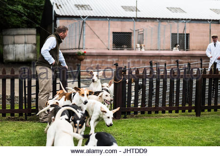 Greenwells, Bowden, St. Boswells, Scottish Borders, UK. 14th July 2017. The Duke of Buccleuch Foxhounds work with - Stock Photo