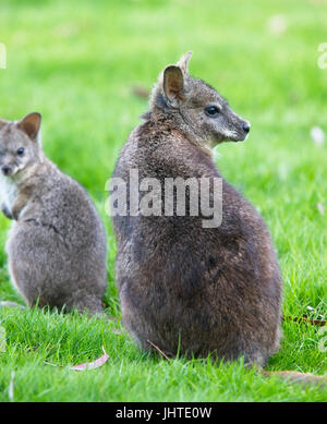 Red-necked or Bennett's Wallaby (Macropus rufogriseus), captive adult female, West Sussex, UK. - Stock Photo