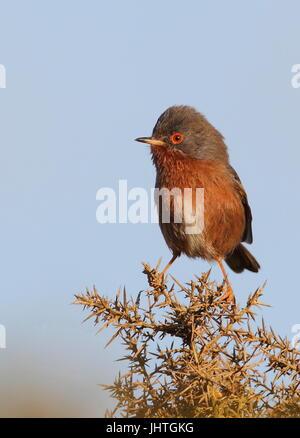 Male Dartford Warbler on territory. - Stock Photo