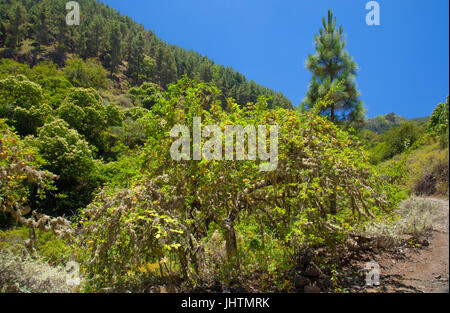 Gran Canaria,  July,   landscape around Valsendero, yellow plum trees with lichen and ripe plums - Stock Photo