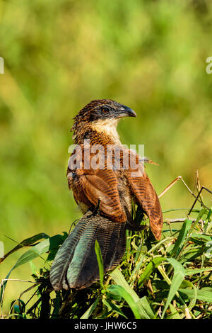 Juvenile Burchells Coucal (Centropus burchelli) perched on top a small tree in the Kruger National Park, South Africa - Stock Photo