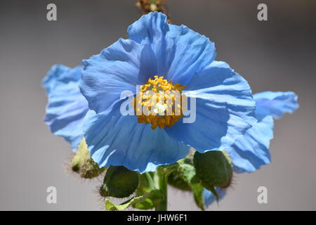 Blue Himalayan poppy - Stock Photo