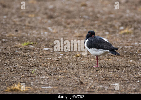 Single oystercatcher (Haematopus ostralegus) standing on one leg in the rain with it's beak tucked under its wing,resting - Stock Photo