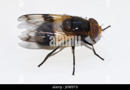 The Large Pied-hoverfly or Pellucid Fly (Volucella pellucens) mimics a bee in size, shape and coloration as protection - Stock Photo