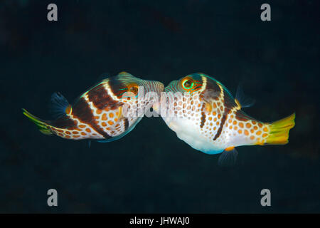 Valentines Puffer, also known as Valentines Sharp Nosed Puffer and Black-Saddled Toby, Canthigaster valentini. Two males fighting. Stock Photo